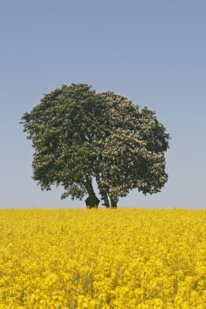 Horse Chestnut (Aesculus hippocastanum) with rape field in Bad Iburg in May, Lower Saxony, Germany, Europe Banco de Imagens