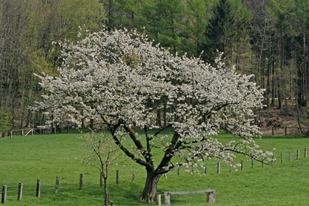 cherry tree: Cherry tree in Hagen, Osnabruecker Land, Lower Saxony, Germany in spring Stock Photo