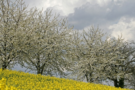 Cherry trees with rape field, Lower Saxony, Germany, Europe photo