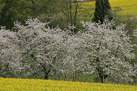Cherry tree with rape field in spring, Hagen, Lower Saxony, Germany photo
