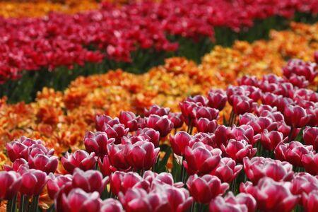 debutante: Tulipa Debutante, Triumph tulip on the right side in the Netherlands, Europe