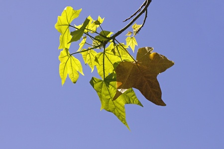 saccharum: Acer saccharum, Leaves of the Sugar Maple in spring