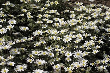 splendour: Greek Windflower, Anemone blanda White Splendour