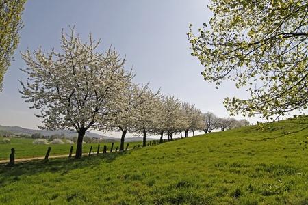 Wanderweg mit Kirschbäumen im April, Hagen a.T.W., Osnabrücker Land, Niedersachsen - Foothpath with cherry trees in Hagen, Lower Saxony, Germany, Europe Фото со стока