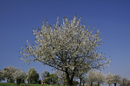 broad leaved tree: Cherry blossom in Hagen a.T.W. in the Osnabrueck country, Lower Saxony, Germany, Europe