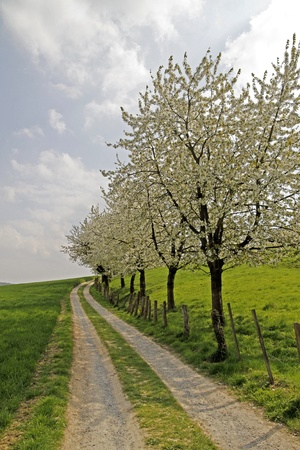 Footpath with cherry trees in Hagen, Lower Saxony, Germany, Europe Stock Photo