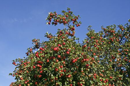 broad leaved tree: Apple tree with ripe fruit (Malus) in Germany, Europe Stock Photo