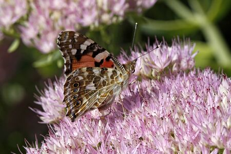 showy: Painted Lady butterfly (Cynthia cardui, Vanessa cardui) on Showy stonecrop bloom (Sedum spectabile) from Germany, Europe Stock Photo