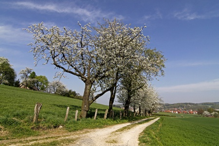 Footpath with cherry trees in Hagen, Lower Saxony, Germany, Europe Stock Photo - 9306153