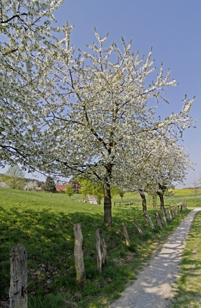 broad leaved tree: Footpath with cherry trees in Hagen, Lower Saxony, Germany, Europe Stock Photo