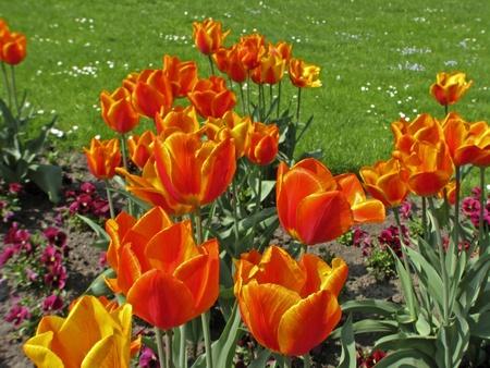 the flair: Tulipa Flair, Single early tulip