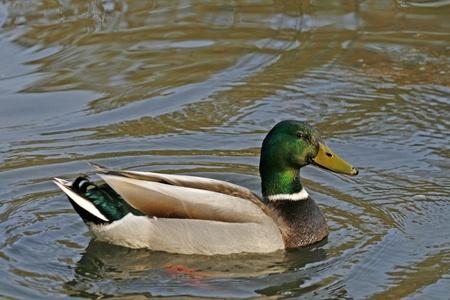 Mallard, Stockente, Anas platyrhynchos (male duck)