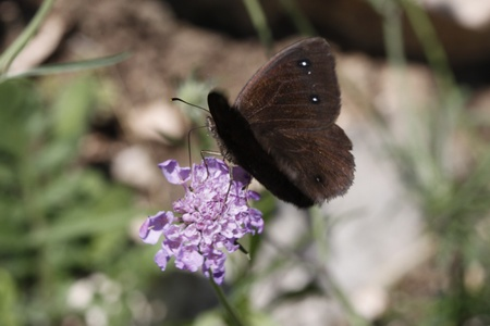 sooty: Satyrus ferula, Great sooty satyr butterfly from Italy, Europe