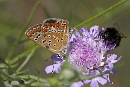 polyommatus: Polyommatus butterfly sitting on a scabious bloom in Italy, Europe