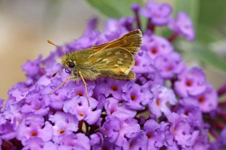 ochlodes: Ochlodes venatus, Large skipper buterfly on Butterfly-bush (Buddleja davidii), Italy, Europe