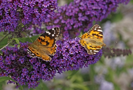 Geverfde Dame vlinders op Vlinderstruik, grote weerschijnvlinder, Pyrkeep in Italië, Europa Stockfoto