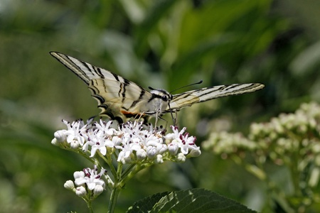 scarce: Scarce Swallowtail butterfly in summer, Iphiclides podalirius sitting on a dwarf elder bush in Italy, Europe