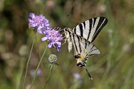 Scarce Swallowtail (Iphiclides podalirius) sitting on a Scabious flower at the Monte Baldo, Italy, Europe
