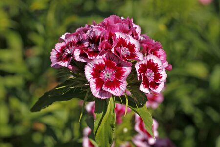 william: Sweet William, Dianthus barbartus