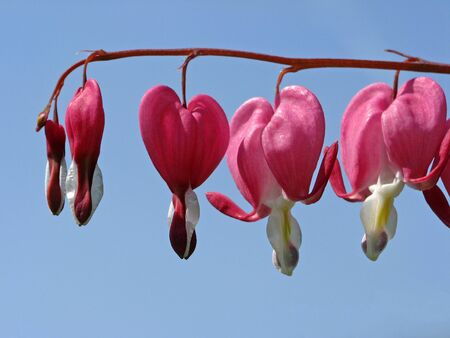 Bleeding heart flower in spring, Dicentra spectabilis photo