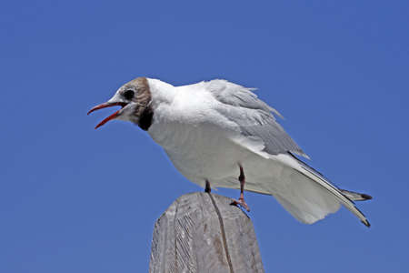 larus ridibundus: Larus ridibundus - Black-headed gull sitting on a a wood pillar in Italy