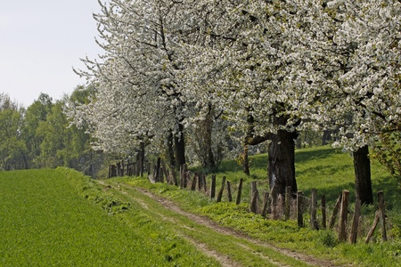 Footpath with cherry trees in Hagen, Lower Saxony, Germany, Europe Stock Photo - 9357249