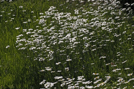 Oxeye daisy, Marguerite - Leucanthemum vulgare in may, Germany, Europe photo