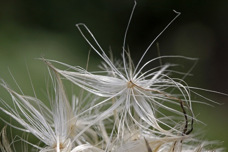 Blessed milk thistle, flower fruit - flower seed Фото со стока
