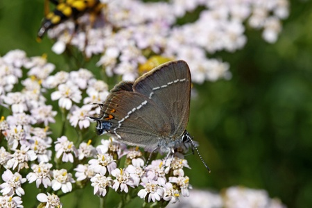 Blue spot hairstreak butterfly on Yarrow (Achillea) - Satyrium spini is a very rare butterfly in Europe Stock Photo - 9443118