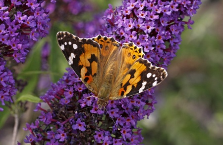 Painted Lady butterfly on Buddleja davidii, Purple Emperor, Pyrkeep Фото со стока