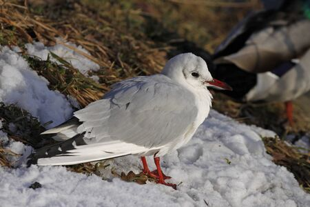 larus ridibundus: Larus ridibundus - Black-headed gull in einter, Lower Saxony, Germany, Europe Stock Photo