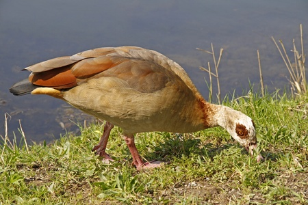 alopochen: Egyptian Goose (Alopochen aegytiacus) - Goose on food search in Lower Saxony, Germany, Europe