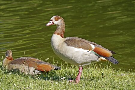 Egyptian Goose (Alopochen aegytiacus) at a little pond,in Germany, Europe photo