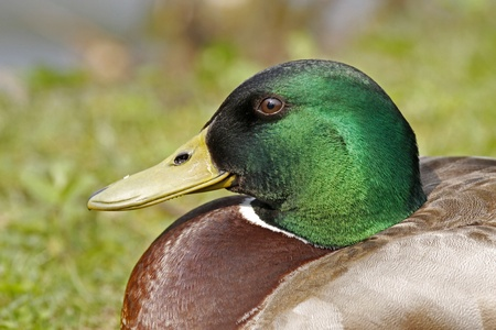 Anas platyrhynchos - Mallard, male duck with green face in Lower Saxony, Germany, Europe