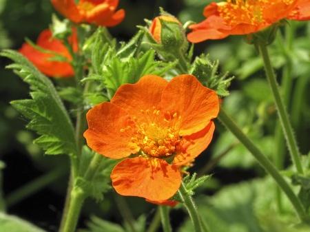 Geum coccineum Borisii, Red Avens Stock Photo