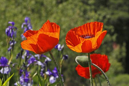 Oriental poppy in spring, Papaver orientale in Germany photo