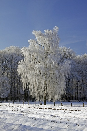 Birch in a field in winter, Bad Laer, Osnabruecker Land, Lower Saxony, Germany, Europe Stock Photo - 9443905