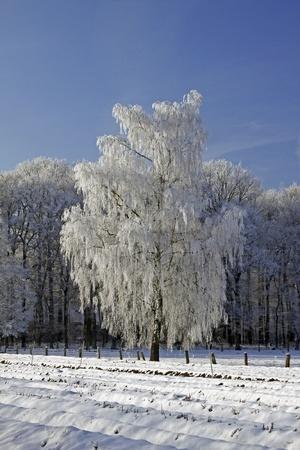 broadleaved tree: Birch in a field in winter, Bad Laer, Osnabruecker Land, Lower Saxony, Germany, Europe Stock Photo