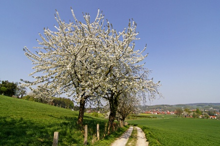 Footpath with cherry trees in Hagen, Lower Saxony, Germany, Europe photo