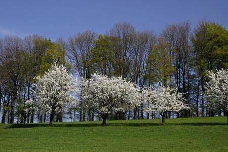 broadleaved tree: Cherry trees in spring, Hagen, Lower Saxony, Germany, Europe