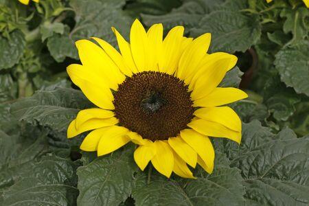 helianthus annuus: Helianthus annuus, Sunflower