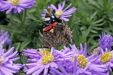 novae: Red Admiral butterfly (Vanessa atalanta) on Aster novae-angliae, New York Aster in Germany, Europe