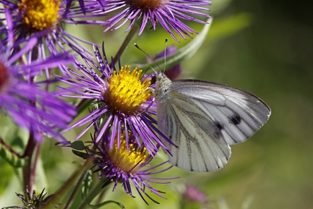 novae: Green-veined White butterfly (Pieris napi) on Aster novae-angliae, in Germany, Europe