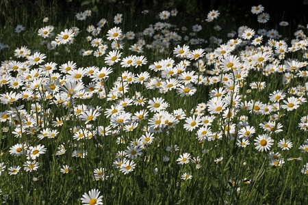 Oxeye daisy, Marguerite - Leucanthemum vulgare in may, Germany, Europe Stock Photo
