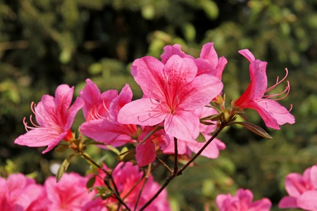Japanese Azalea, Rhododendron japonicum in spring, Germany, Europe