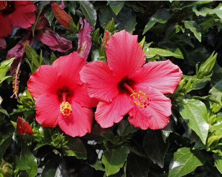 rosemallow: Rose-malva, Hibiscus rosa-sinensis, ibisco cinese di fiore, Cina Rose, scarpa
