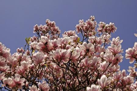 magnolia soulangeana: Saucer Magnolia, Magnolia-Hybrid, Magnolia x soulangeana Stock Photo