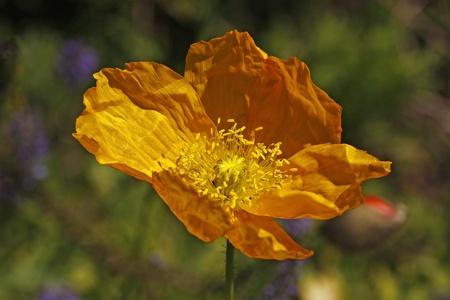 papaver: Yellow Island Poppy, Papaver nudicaule