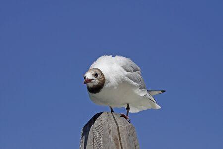 larus ridibundus: Lachmöwe, Larus ridibundus - Black-headed gull