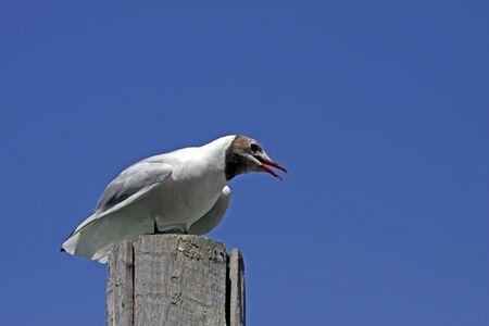 larus ridibundus: Larus ridibundus - White, Color, Grey, one, animals, animal, Black-headed gull, Larus, Larus ridibundus, gull, Laridae, Bird